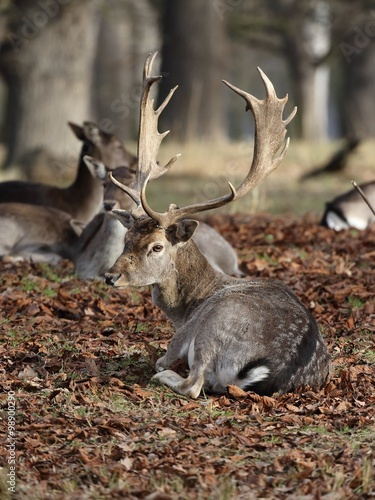 Tuinposter Eekhoorn The Fallow Deer (Dama dama) - lying in the dry leaves. Autumn.