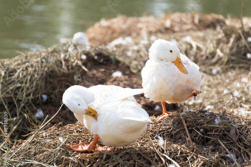 Poster White ducks preening next to a pond or lake.