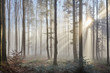 Sun rays through the foggy forrest - 98968412