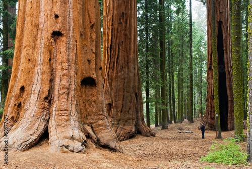 Sequoia Redwood Tree, At Sequoia National Park.