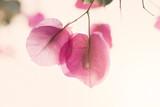 fiori di bouganville tra i raggi di una tenue aurora