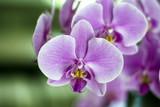 Fototapety orchidea selvaggia fucsia ai tropici
