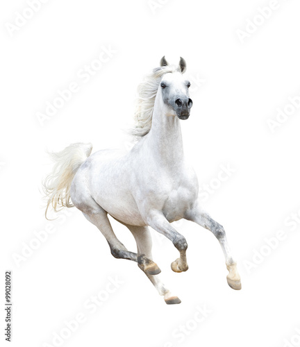 Fototapeta white arabian horse isolated on white