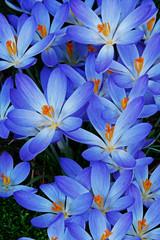 Blue Zwanenburg Crocus in spring bloom © Scott Bufkin