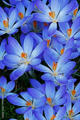 Blue Zwanenburg Crocus in spring bloom