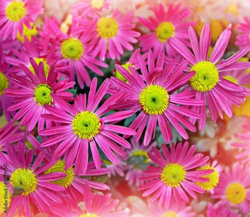Plexiglas Roze chrysanthemum flowers. Autumn landscape