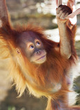Look up of an orangutan baby in backlight. A little great ape is going to be an alpha male. Human like monkey cub in shaggy red fur. Beauty of the wildlife.