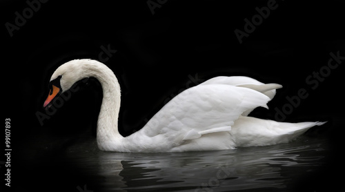 Fotobehang Zwaan Side face portrait of a whooping swan, isolated on black background. White swan, side view, with orange beak and twisted neck in twilight. Wild beauty of a excellent web foot bird.