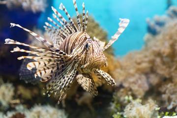 Ryby przepływający obok ławicy rybek w akwarium, Zebra skrzydlaty. Ryb wśród koralowców i glonów.