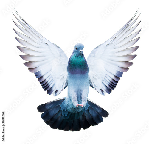 domestic pigeon bird in flying action isolated - 99153006