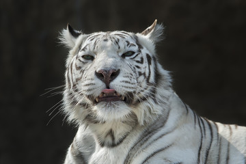 White bengal tigress with pink tongue © andamanec