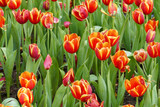 blooming tulip flower at the flowerbed