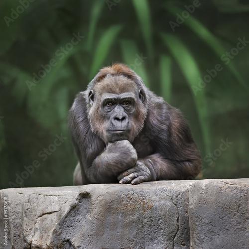 Poster, Tablou Thinking monkey