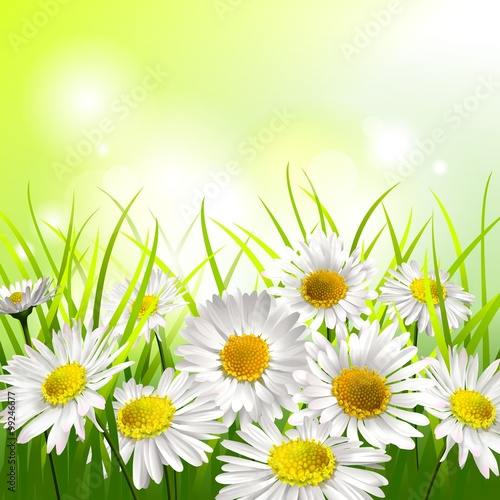 White daisies in a meadow. Spring background.