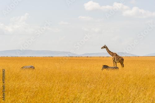 Poster Eine Giraffe und zwei Zebras