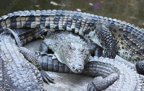 Foto op Plexiglas Krokodil Large group of crocodiles