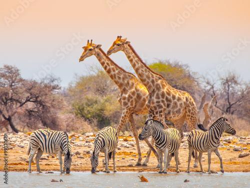 Poster Giraffes and zebras at waterhole