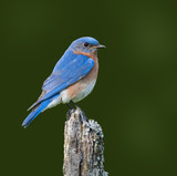 Male Eastern Bluebird on Green Background