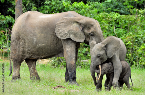 Papiers peints Hyène The elephant calf with elephant cow The African Forest Elephant, Loxodonta africana cyclotis. At the Dzanga saline (a forest clearing) Central African Republic, Dzanga Sangha