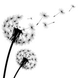 Fototapety black silhouette with flying dandelion buds on a white backgroun