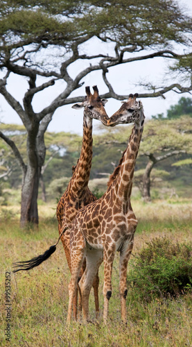 Fototapeta Two giraffes in savanna. Kenya. Tanzania. East Africa. An excellent illustration.