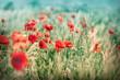 Wild poppy flowers in meadow