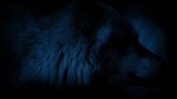 Wolf Looking Around At Night With Glowing Eyes