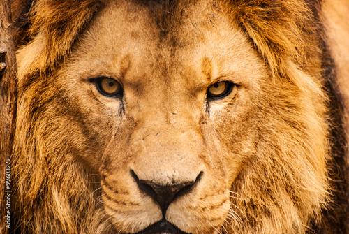 Portrait Gros plan d'un African Lion Poster