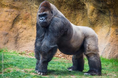 Poster Male gorilla.