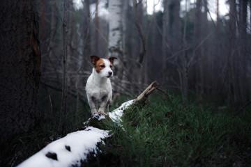 Pies Jack Russell Terrier