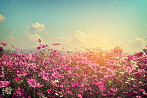 Landscape of cosmos flower field with sunlight. vintage color tone