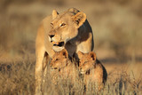 Lioness with young lion cubs (Panthera leo) in early morning light, Kalahari desert, South Africa.