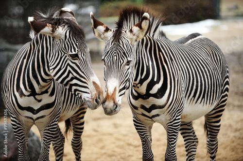 Fototapeta Couple of zebras playing on the ground