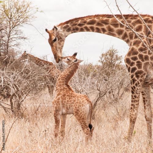 Fototapeta Cute little giraffe cub kissing his mother in the arid Savannah.