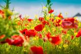 Mohnblumen - The Poppy Field