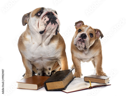 young english bulldogs and books