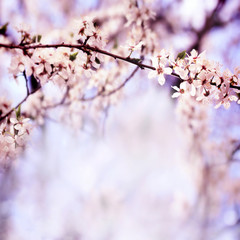 Sakura tree flowers background
