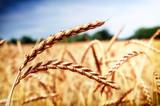 Golden wheat field (spelt wheat) at summer day