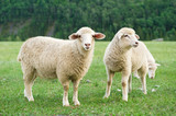 Sheeps in a meadow in the mountains - 99907222