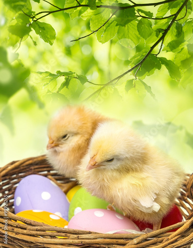 Fototapeta easter eggs in a basket and two chickens