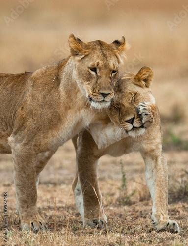 Fototapeta Lions playing with each other. Savannah. National Park. Kenya. Tanzania. Maasai Mara. Serengeti. An excellent illustration.