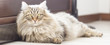 Brown cat, long haired, siberian breed