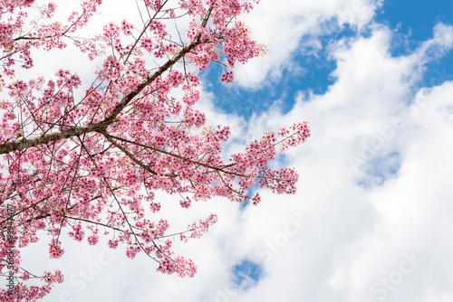 Poster Cherry blossom or  Sakura flower with blue sky
