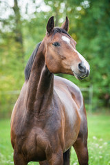 Portrait of beautiful warmblood horse