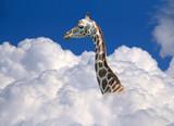 giraffe above clouds - 100019673