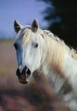 Portrait of a wild camargue horse