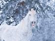 Obrazy na płótnie, fototapety, zdjęcia, fotoobrazy drukowane : white fairytale horse with dapples posing in winter forest