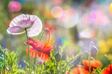 Fototapety spring meadow with red poppies