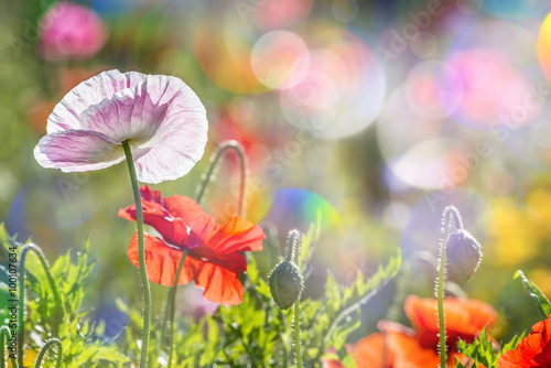 Poster spring meadow with red poppies