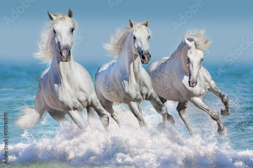 Three white horse run gallop in waves in the ocean Canvas